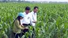 Lâm Thao tập trung trồng chăm sóc cây vụ đông