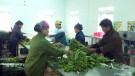Lâm Thao: tập trung sản xuất rau màu cung ứng thị trường Tết
