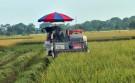 Lâm Thao tập trung thu hoạch lúa vụ chiêm xuân