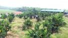 Tiên Kiên: Hiệu quả từ việc áp dụng khoa học kỹ thuật vào phát triển kinh tế vườn đồi.