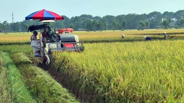 Lâm Thao tập trung thu hoạch lúa vụ mùa